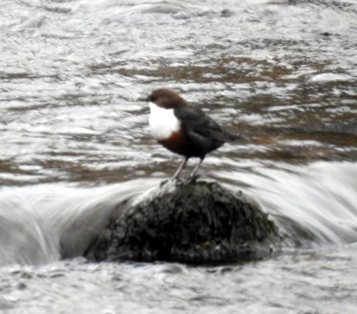 Highland Wildlife & Birdwatch Safaris: Dipper
