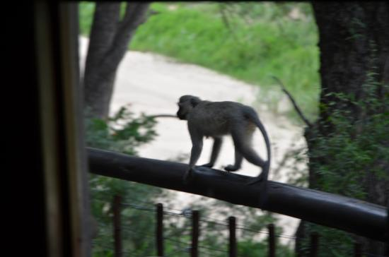 Indlovu River Lodge : while a monkey is passing by