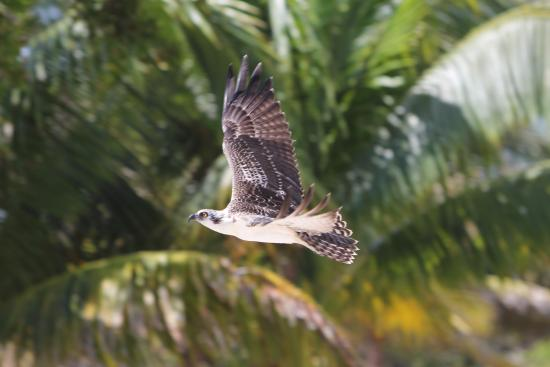 Turneffe Island, Belice: Osprey nesting behind cottages 9 and 10.
