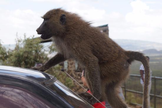 Lake Nakuru National Park, Kenia: Keep the windows and doors closed....