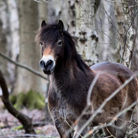 Skipwith, UK: Ponies roam free to eat birch saplings and help maintain the habitat