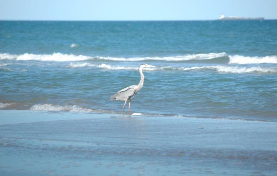 Boca Chica State Park Great Blue Heron On Beach