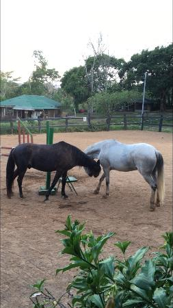 Santiago de Puriscal, Costa Rica: The geldings