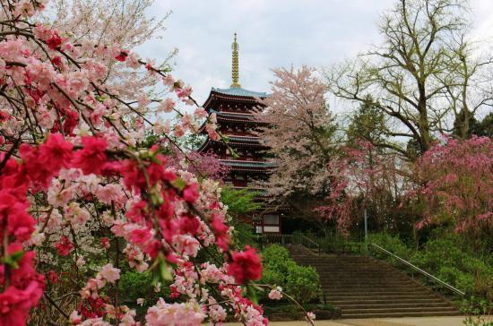 Hondo-ji Temple: 桜に囲まれる五重塔