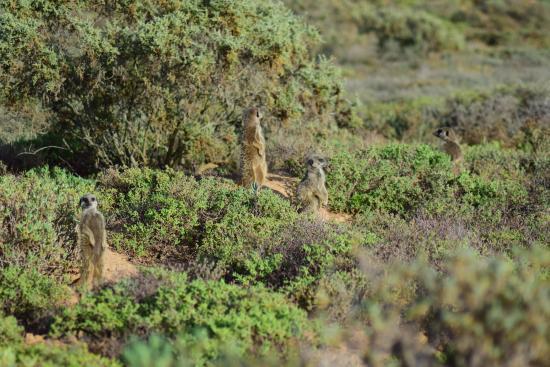 Meerkat Adventures: meerkats