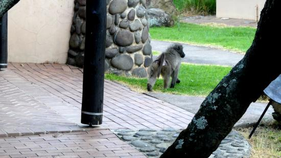 uKhahlamba-Drakensberg Park, Sydafrika: Türen schließen , Paviane in Sicht !!!
