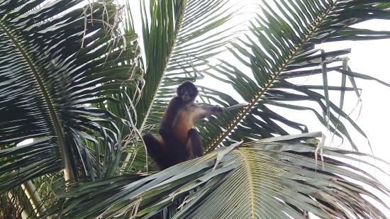 Puerto Lindo, ปานามา: Singe araignée