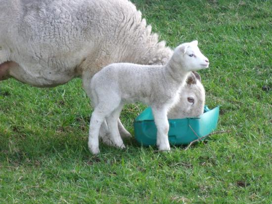 Croftlands Bed and Breakfast: Baby lambs belonging to the couple