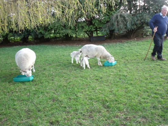 Croftlands Bed and Breakfast: Baby lambs born before our visiit