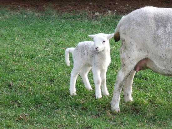Croftlands Bed and Breakfast: Baby lamb born 2 days before our visit