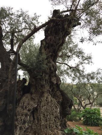 Garden of Gethsemane: photo4.jpg