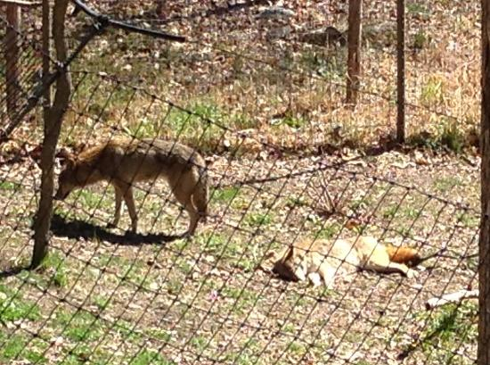 Coyote - Bear Mountain Trailside Museums & Zoo