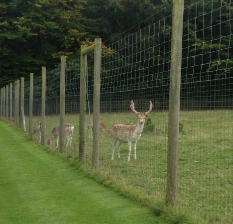 fallow deer picture of wentworth castle gardens barnsley