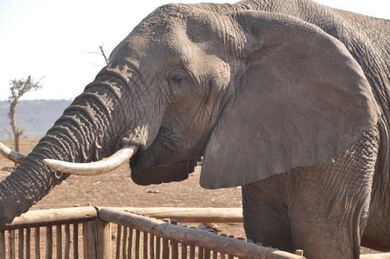 Mkuze Game Reserve, Sudáfrica: detalhes do elefante