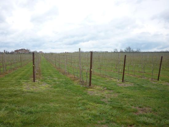 Leesburg, VA: Vineyard