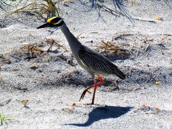 Dunedin, FL: Funny bird
