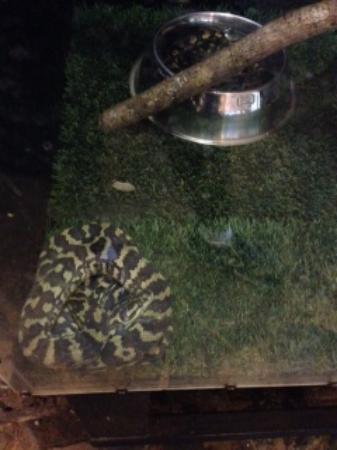 Diwan, Australia: Python1