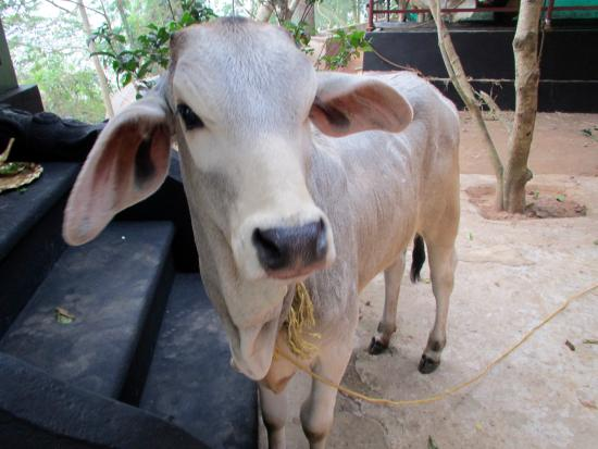 Ayurveda Yoga Villa: The animals are treated with great respect as well