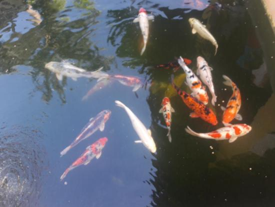 Valentino Resort and Spa: There are Koi's on their Mini Pond, love taking pix of them.