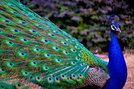 Vivian Studios: Filerimos Peacocks!