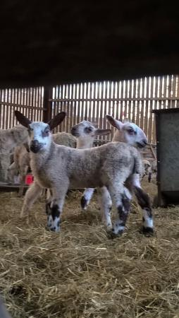Blubberhouses, UK: Newly-born Blue-faced Leicester lambs amongst the flock