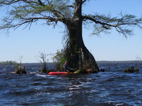 Lake Drummond: By one of the big Cypress trees