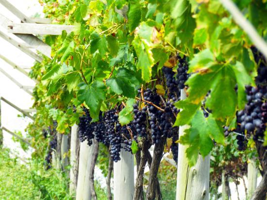 Resultado de imagem para uvas villa francioni