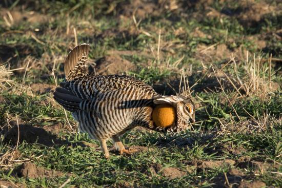 Mullen, NE: Displaying Prairie Chicken