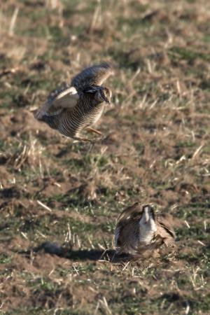 Mullen, NE: Sparring Prairie Chickens.  They move so fast - hard to get a sharp picture.
