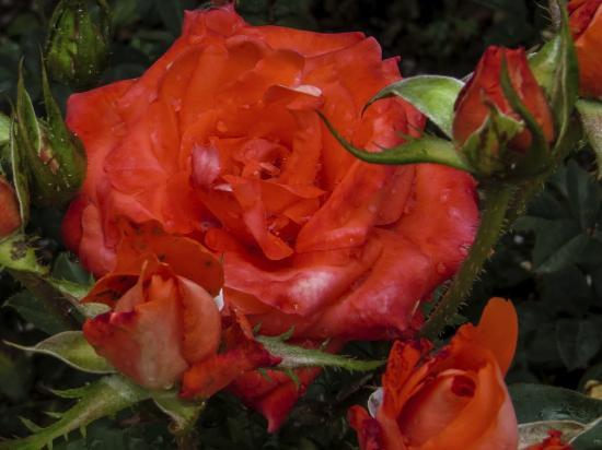 Somerset West, Afrique du Sud : The Rose Garden at Vergelegen