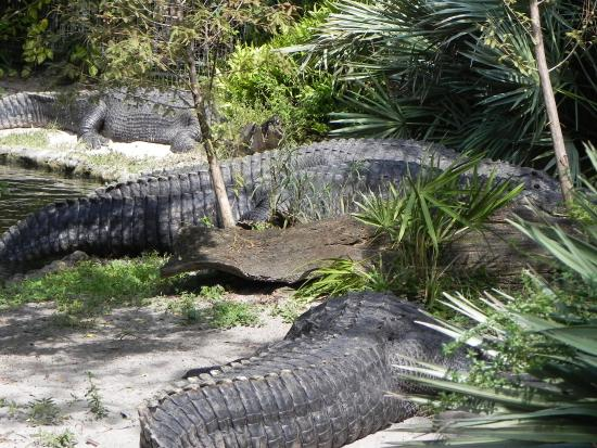 Serengeti Night Safari at Busch Gardens: Vários crocodilos.
