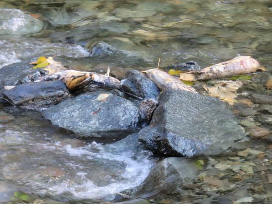 Langford, Canada: exhausted salmon at the end of their run