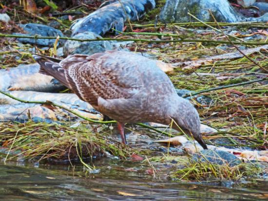 Langford, Canada: gull nibbling on exhausted salmon at end of their run