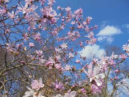 Magnolia Loebneri Leonard Messel Picture Of Haarlemmer