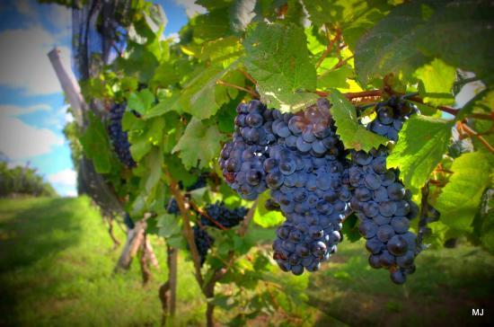 Vinedo Los Aromitos