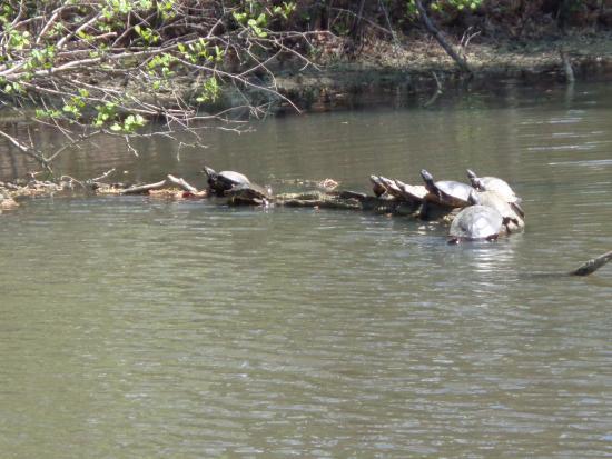 Newport News, VA: These are turtles sunning themselfs on a log in the pond of the outside area of the Virginia Liv