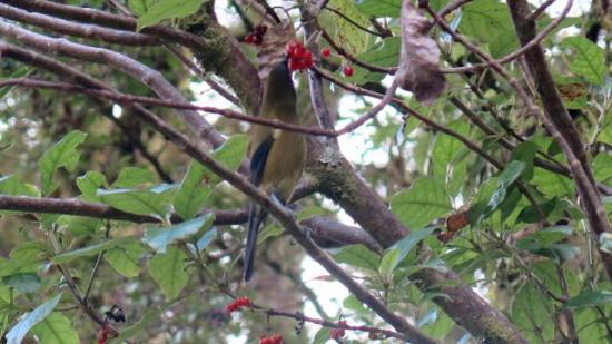 Karamea, Nueva Zelanda: Bellbird feeding