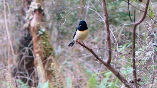 Karamea, New Zealand: Tomtit