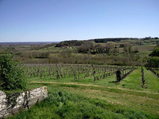 Saussignac, Francia: Vine buds just starting to open at Chateau Feely