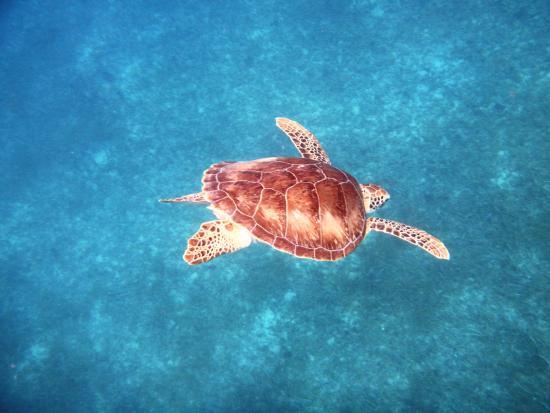 Oyster Pond, St. Maarten: Swimming with multiple sea turtles!