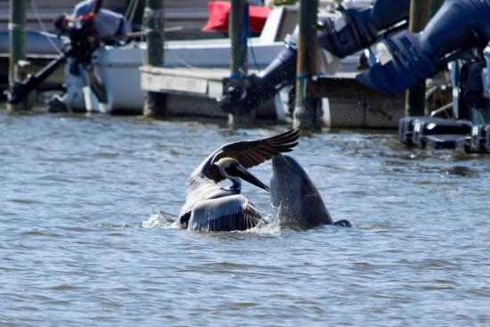 Wild Side Tours The Dolphin Was Sick Of Pelican Trying To Steal Its Fish