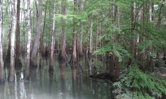Florida Caverns State Park: Chipola River cypress trees