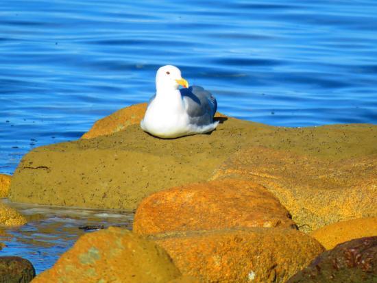 Courtenay, Kanada: Warming his belly on the beach rocks