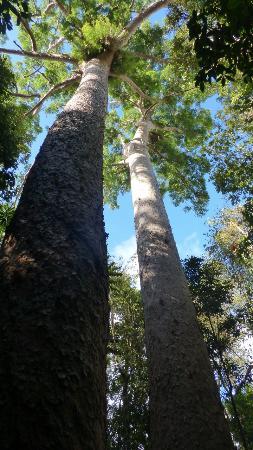 Yungaburra, Australia: Twin Bull Kauri Pines at Lake Barrine