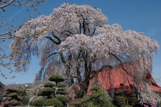 Yamanashi, Japan: 乙ケ妻の周辺の桜