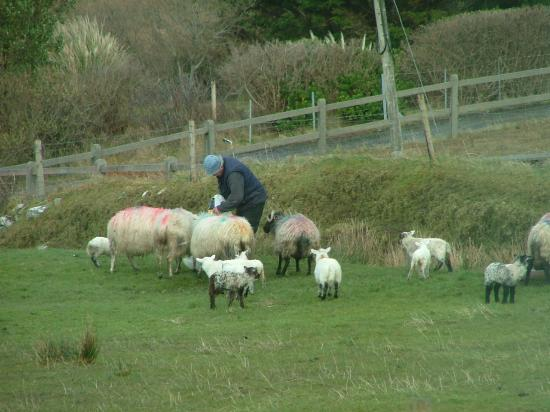 County Mayo, Irlanda: Mike feeding the sheep and new-born lambs