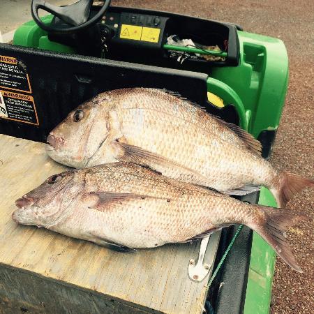 Taiharuru, Nueva Zelanda: Snappers caught off the rocks