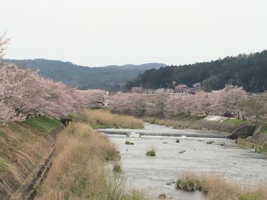 美波羅川 千本桜