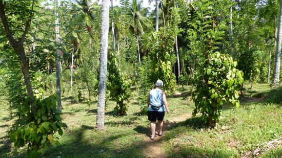 Jim's Farm Villas : Walking among the Coconut Palms and Peppers