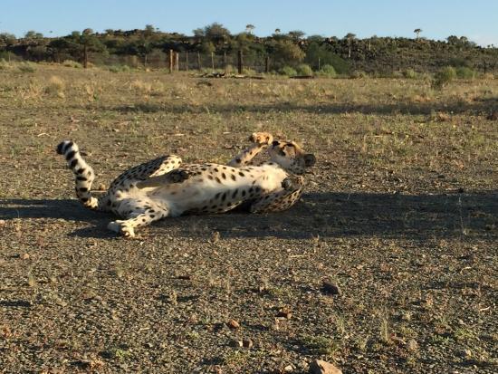 Китмансхуп, Намибия: Cheetah feeding
